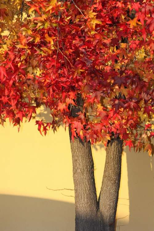 Autumn Trees Color Maple Nature Leaves Red