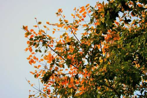 Autumn Leaves Tree Leaves Yellow Green Autumn