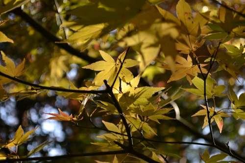 Autumnal Leaves Maple Agano