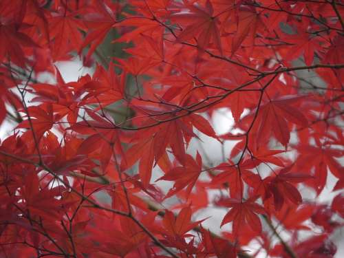 Autumnal Leaves Red Maple