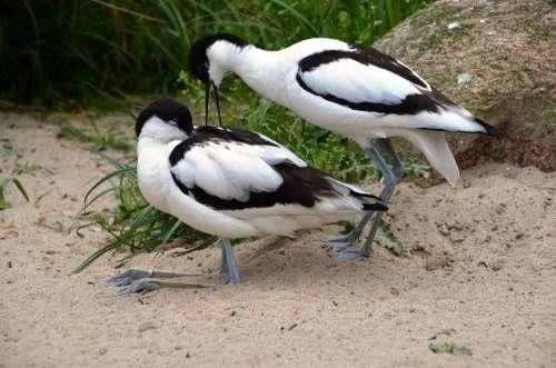 Avocet Bird Water Bird Recurvirostra Avosetta