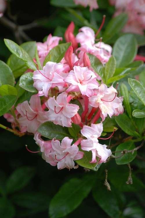Azalea Flowering Shrubs Blossom Floral Vibrant