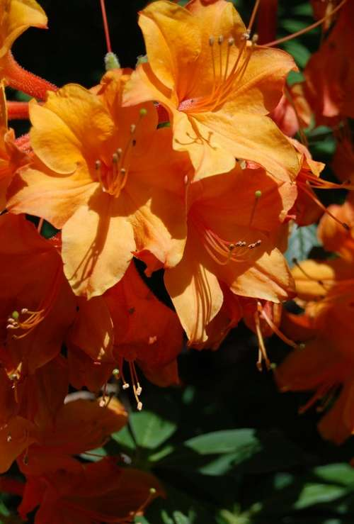 Azalea Orange Flower Floral Rhododendron Close-Up