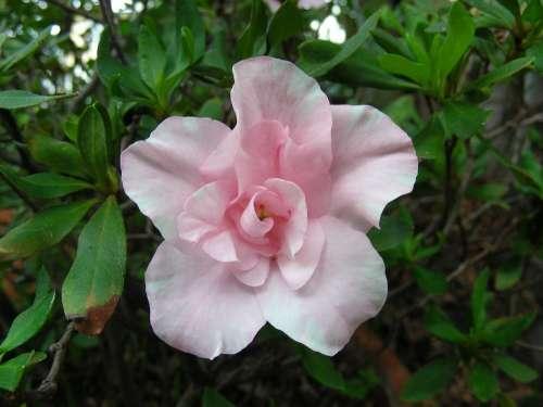 Azalea Pink Azalea Pale Pink Azalea Pink