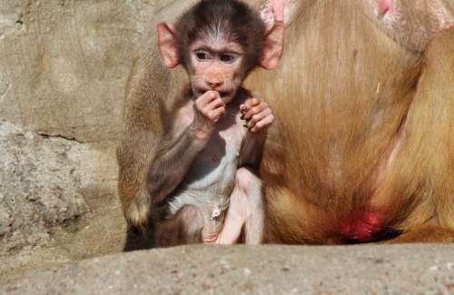 Baboon Papio Hamadryas Baboons Hamadryas Monkey