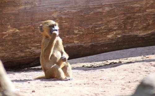 Baboon Monkey Baby Monkey Tiergarten