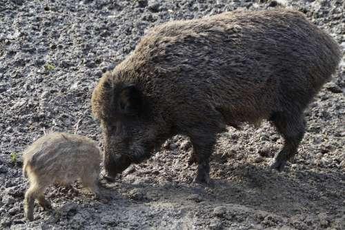 Bache Wild Boar Boar Launchy Quagmire Mud Muddy