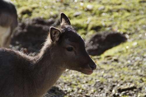 Backlighting Fawn Bambi Young Deer Roe Deer