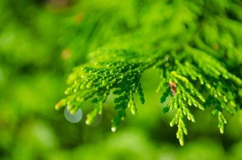 Background Branch Coniferous Dew Drop Droplet