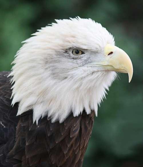 Bald Eagle Bird Predator Feathered Animal