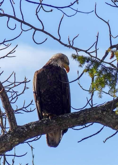 Bald Eagle Big Bird Raptor Bird Of Prey Symbol