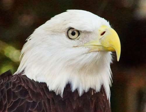 Bald Eagle Eagle Nature Bird Animal Beak Eye