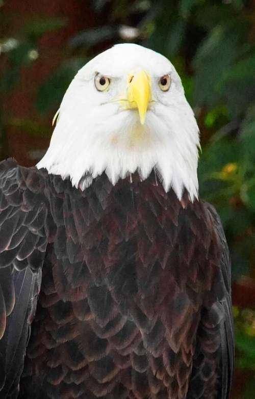 Bald Eagle Bird Eagle Feather Silhouette Bald