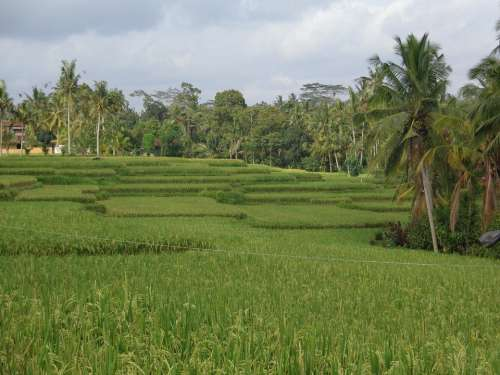 Bali Ubud Ricefields