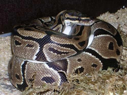 Ball Python Python Regius Snake Reptile Constrictor