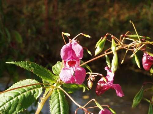 Balsam Blossom Bloom Purple Flower Neophyte
