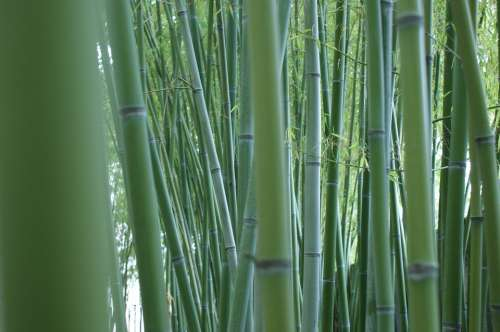 Bamboo Stalks Bamboo Forest Bamboo Rods Green