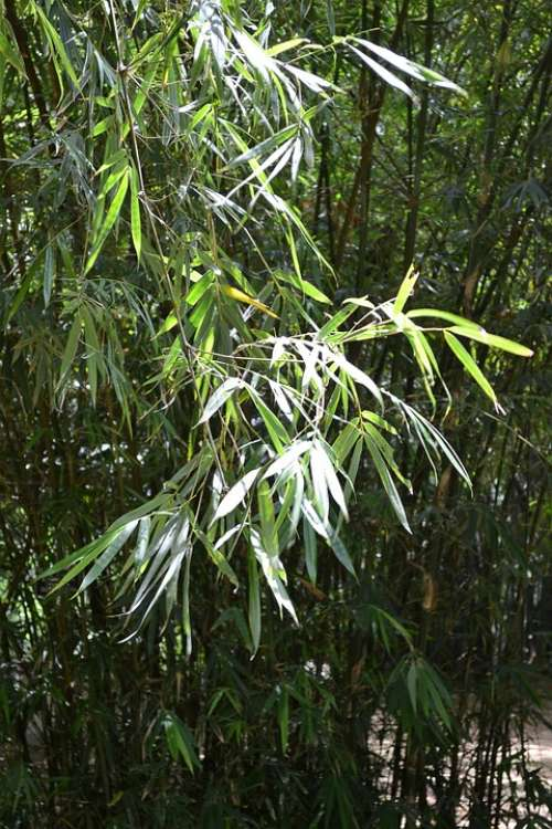 Bamboo Leafs Bamboo Bamboo Tree Plants Plant Nature