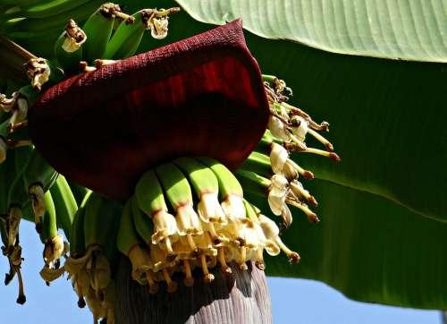 Banana Bunch Flowers Blossoms Baby Banana Plantain