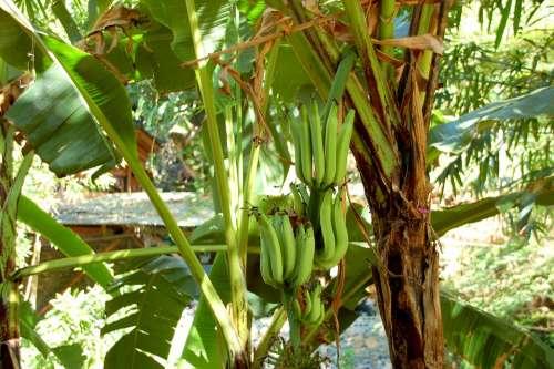 Bananas Bali Nature Fruit