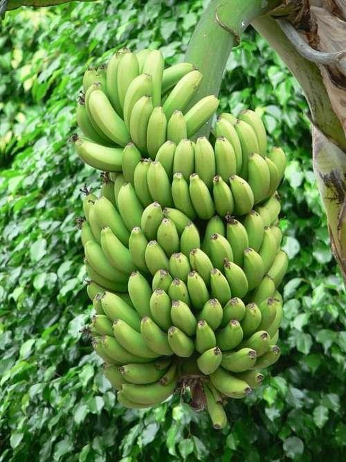 Bananas Green Tree Banana Trees Plants Flora