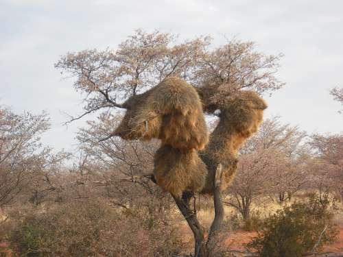 Baobab African Tree
