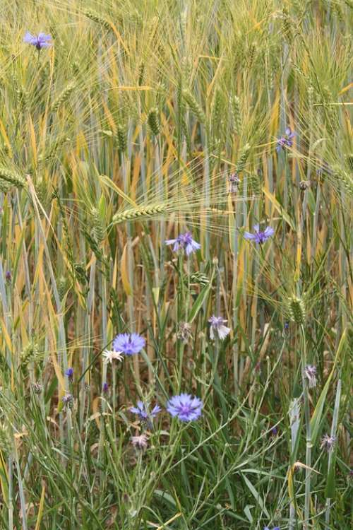 Barley Field Barley Cereals Awns Cornflowers Field