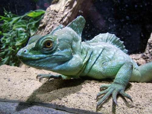 Basilisk Reptile Lizard Green Monitor