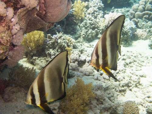 Batfish Rotesmeer Underwater
