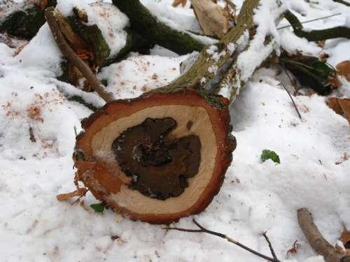 Baumstam Tree Grates Sawn Wood Snow Nature Winter