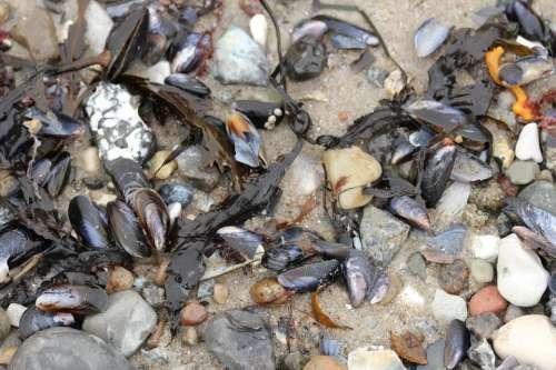 Beach Mussels Sea Stones