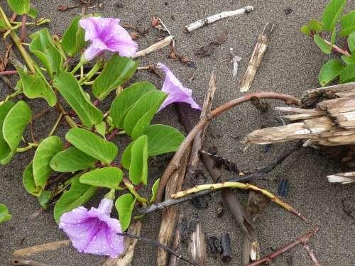 Beach Sand Pacific Flower Winds Bindweed