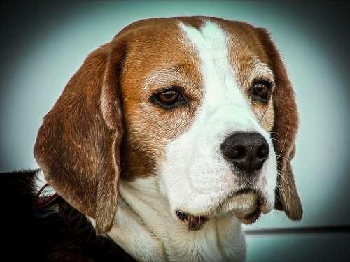 Beagle Dog Animals Portrait Head Pet