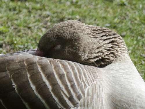 Bean Goose Sleeping Feathered Animal Water Bird