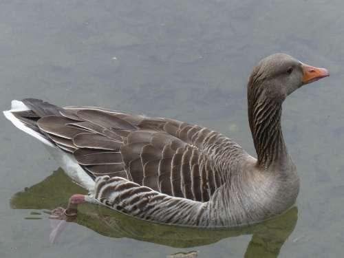 Bean Goose Feathered Animal Water Bird Bird Nature