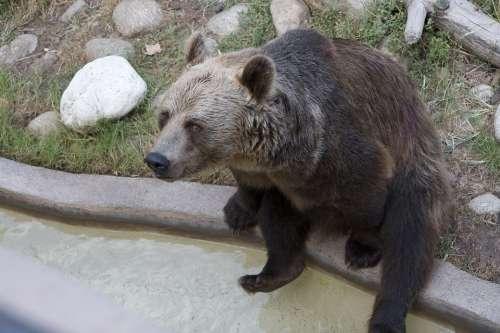 Bear Sitting Brown Animal