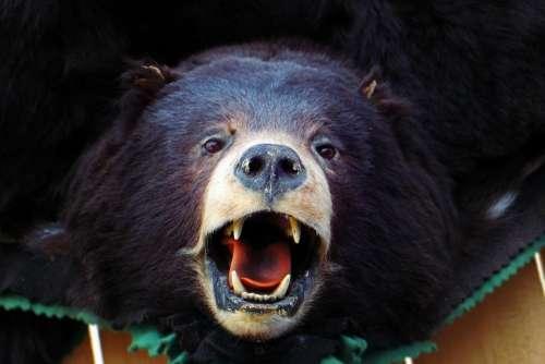 Bear Head Brown Bear Black Bear Animal Dummy