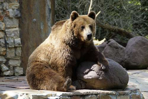Bear Brown Bear Grizzly Grizzly Bear Animal Zoo