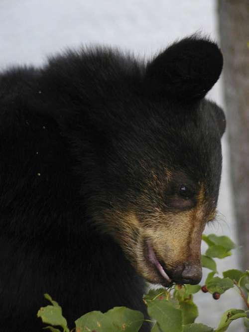 Bear Cub Black Close-Up Animal Mammal Nature