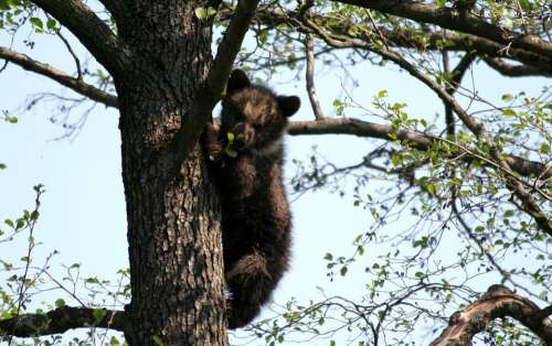 Bear Tree Zoo Brown Bear Animal Cozy Climb