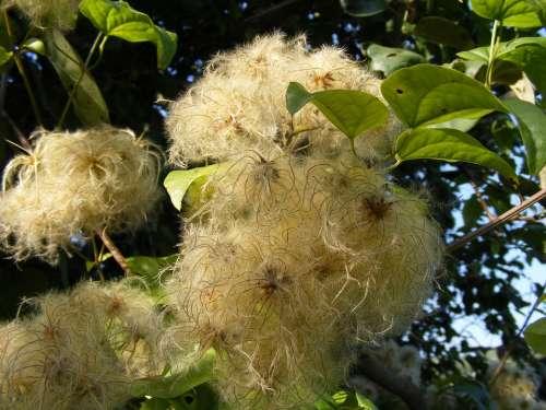 Beard Clematis Climbing Flowers Joy Leave Man