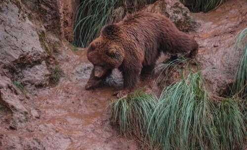 Bears Mud Fauna Animals Animal Nature Mammals