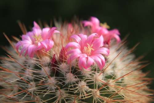 Beautiful Cacti Cactus Flowers Pink Small Plants