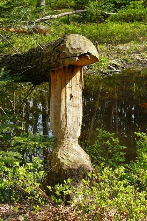 Beaver Beaver Damage Beaver Tree Beaver Eating