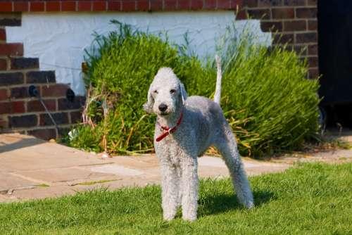 Bedlington Terrier Bedlington Terrier Dog Canine