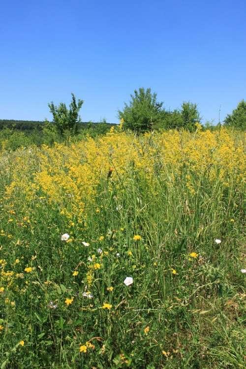 Bedstraw Field Flowers Galium Lady Verum Yellow