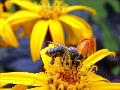 Bee Flower Pollen Macro Nature
