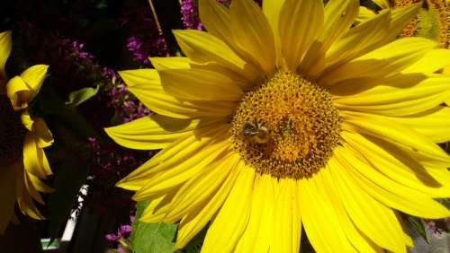 Bee Pollination Insect Sunflower Close Up Blossom