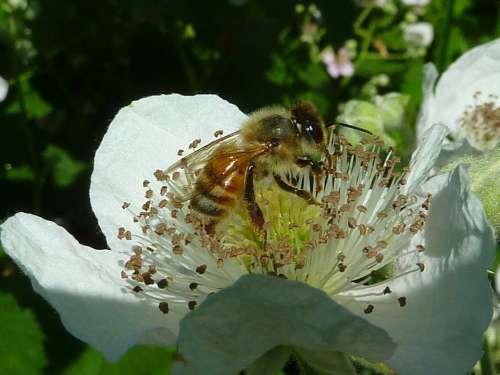 Bee Honey Bee Wings Bees Insect Flower Honeybee
