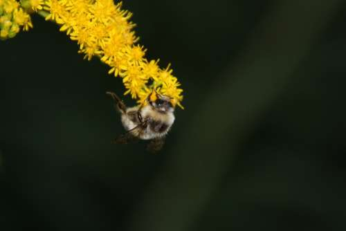 Bee Honey Bee Flower Blossom Bloom Insect Plant